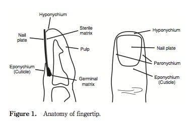 Fingertip-anatomy
