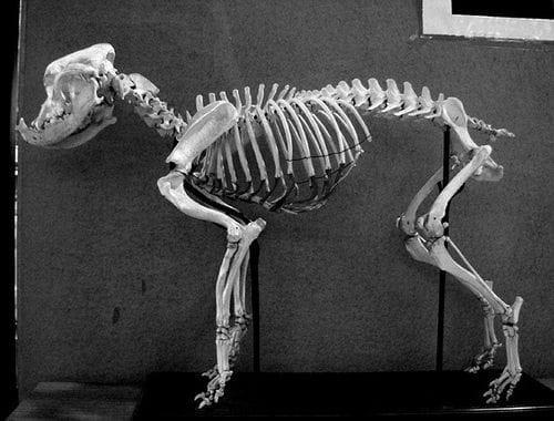 Bulldog Skeleton