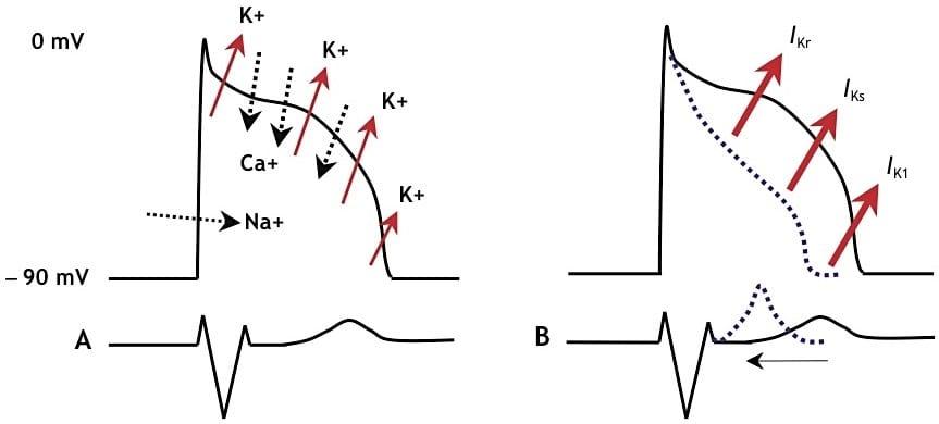 Potassium fluxes in SQTS