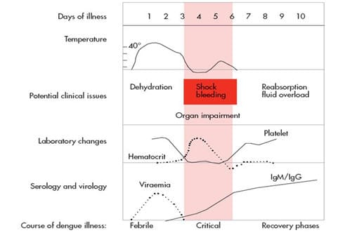 dengue fever phases