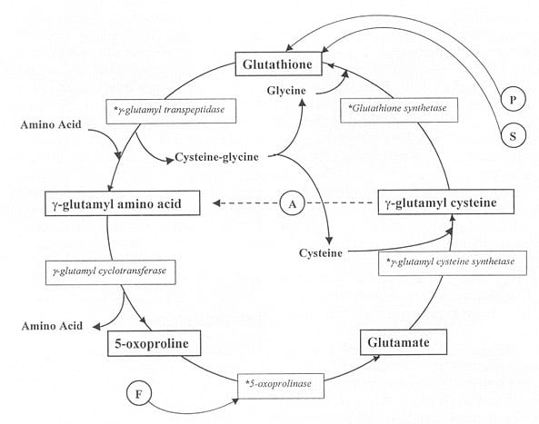 γ-glutamyl cycle
