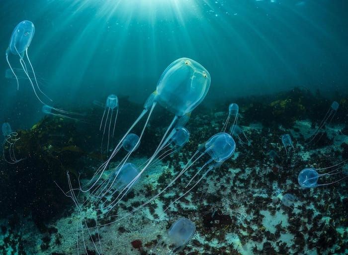 Box Jellyfish Thomas P. Peschak, Nat Geo Image Collection