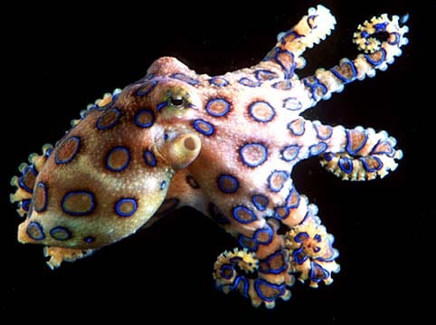 Blue Ringed Octopus BRO