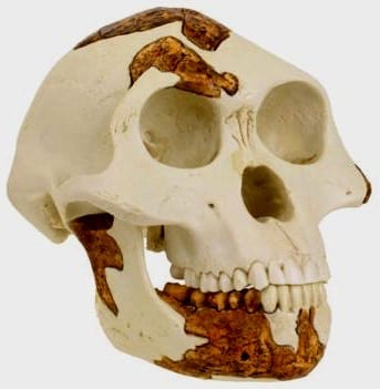 Replica skull of Australopithecus afarensis, Lucy, evolution of human species