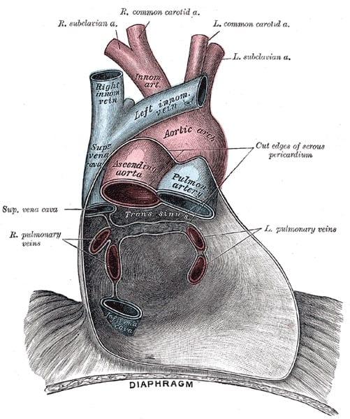 Image 3 The pericardium