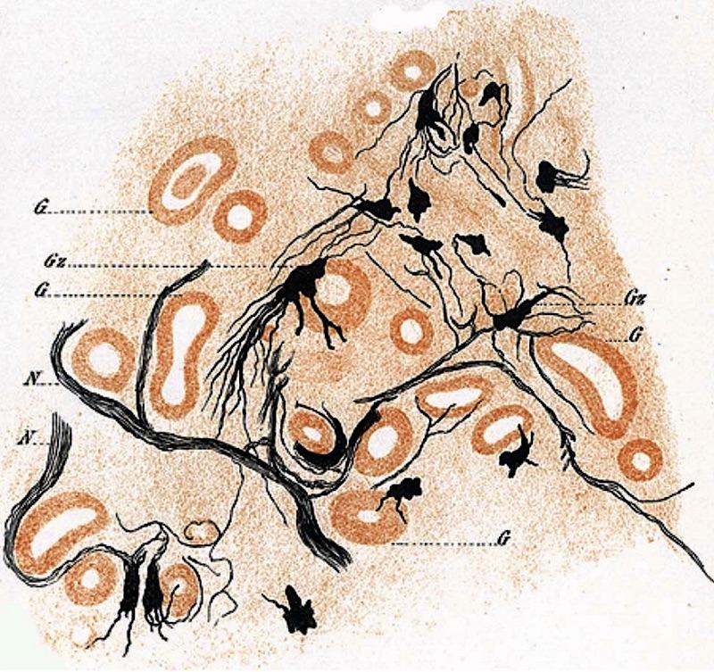 Figur 2. Ganglienzelle in der inneren Zona vasculosa.