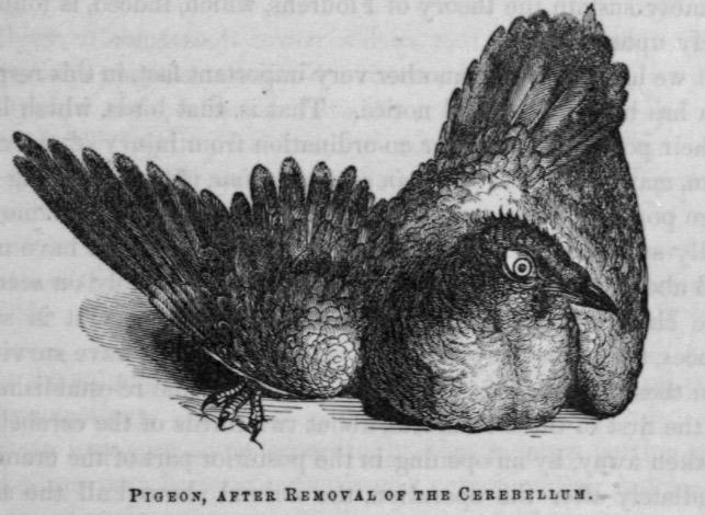 John Call Dalton Jr 1859 pigeon cerebellum experiments 2