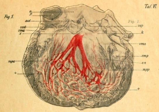 Tawara 1906 Der linke Ventrikel des menschlichen Herzens