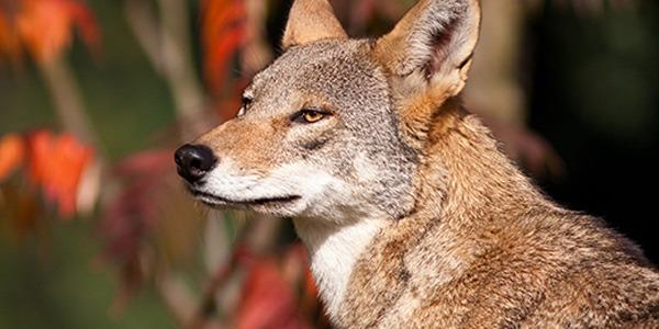 mammal_red-wolf_600x300
