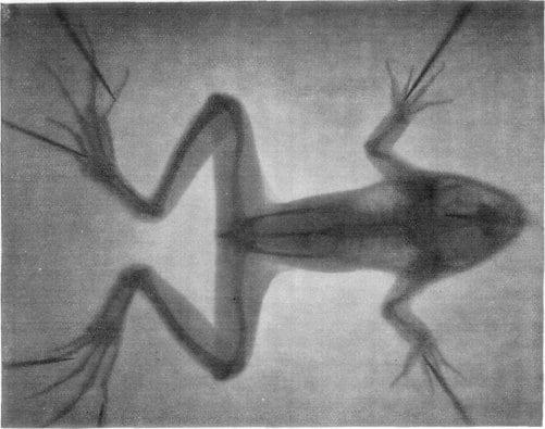 Skeleton of a frog professors Imbert and Bertin-Sans 1896